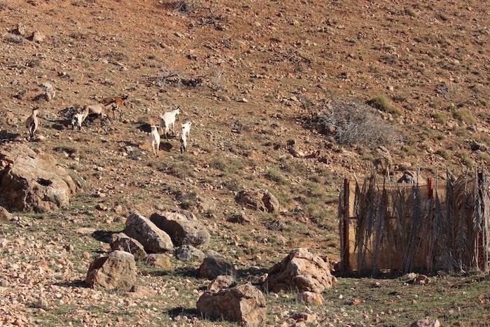Red Bluff goats