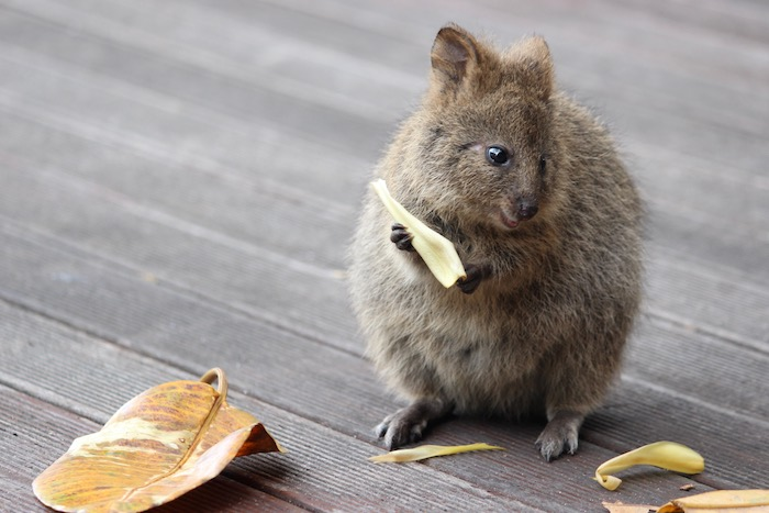 Baby Quokka with a leaf