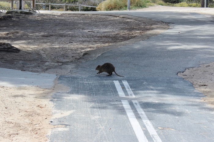 Quokka on the road