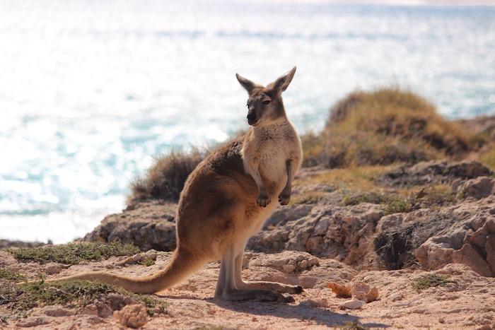 wallaby Western Australia