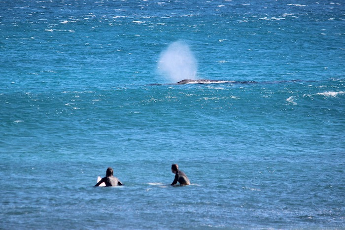 Whales and surfers WA