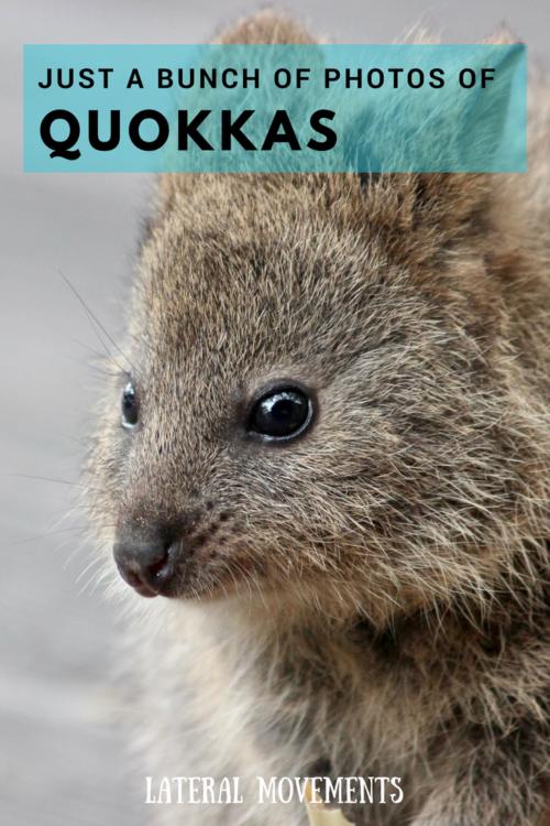 Just a bunch of photos of quokkas