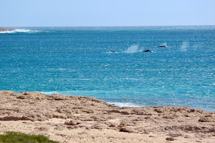 Western Australia whales