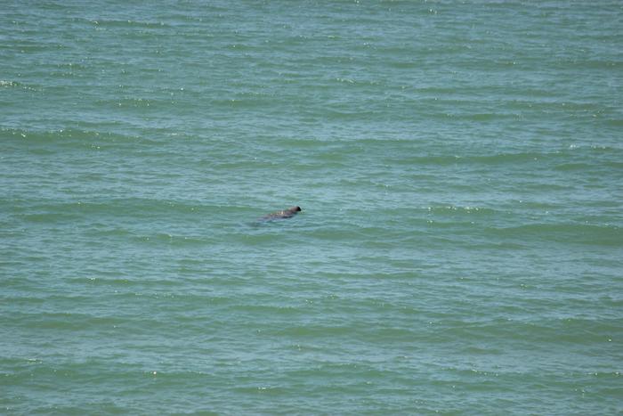 Dugong in water